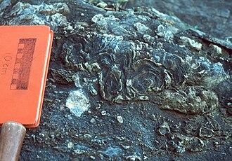 Stromatoporoidea - Image: Stromatoporoid 1 Keyser Formation