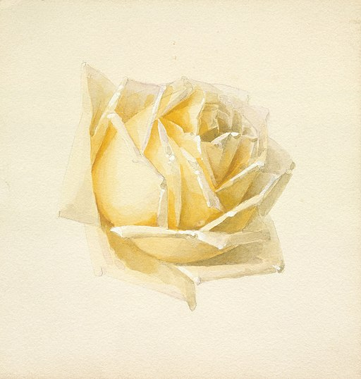A cream and yellow drawing of a rose -- Study of a Rose LACMA M.73.136