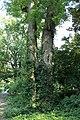 Styphnolobium japonicum trunk UW.JPG