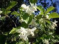 Styrax officinalis 3c.JPG