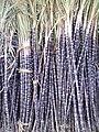 Sugarcane of Chinna Salem.jpg