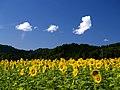 Sunflower - panoramio.jpg
