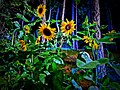 Sunflower in Manshera, AJK, Pakistan.jpg