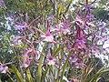 Suvarnabhumi Orchids Farm IMG 20160322 080647 (27447081435).jpg
