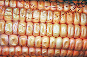 Raw Sweet corn