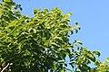 Swietenia macrophylla 3zz.jpg