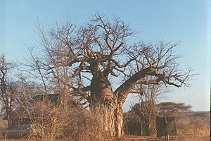 A baobab tree in Gonarezhou national park, which is found in the district