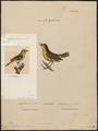 Sylvia trochilus - 1700-1880 - Print - Iconographia Zoologica - Special Collections University of Amsterdam - UBA01 IZ16200181.tif