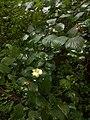 Symphoricarpos albus (36296924730).jpg