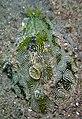 Syphonota geographica.jpg