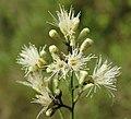 Syzygium zeylanicum flowers 54.jpg