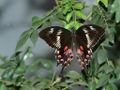 TS008 Papilio polytes female form romulus.jpg