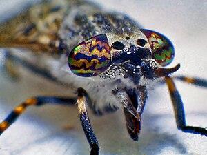 Haematopota pluvialis - Female of Haematopota pluvialis