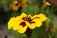 Tagetes sp. by Danny S. - 001.JPG