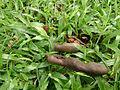 Tamarind Tree 4.jpg