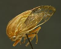 Tapinolobus fasciatus ZSM.jpg