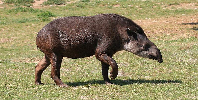 File:Tapirus terrestris (2) by JM Rosier.JPG