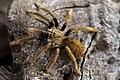 Tarantula Spider.jpg