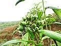 Tarenna asiatica - Asiatic Tarenna 16.jpg