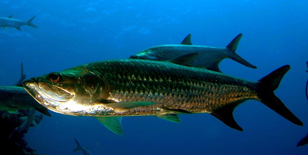 Atlantic tarpon wikipedia for Tarpon fish pictures