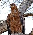 Tawny Eagle (Aquila rapax) (33280280216).jpg