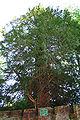 Taxus baccata JPG2Aa.jpg