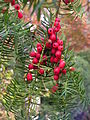 Taxus baccata seed cones.jpg