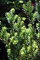 Taxus x Meyeri 0zz.jpg