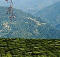 Tea garden at Temi, Sikkim.jpg