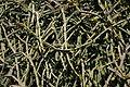 Teguise Guatiza - Jardin - Cissus quadrangularis 02 ies.jpg