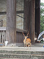 Temple Deer at Tōdai-ji (15148227811).jpg