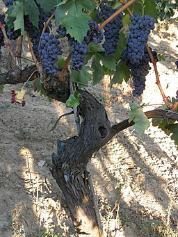 Tempranillo vine with grape clusters
