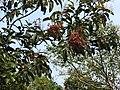 Terminalia paniculata-2-thenmalai-kerala-India.jpg
