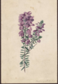Tetratheca gulosa by Susan Fereday.png
