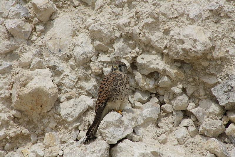 File:The Common Kestrel Falcon was seen in Lusail city – Qatar.JPG