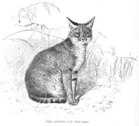 The Jungle Cat (Felis chaus)...223.jpg