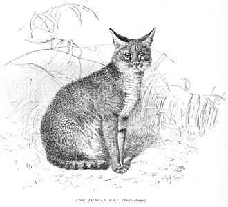 Jungle cat - A 1904 illustration of the jungle cat