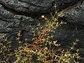 Threadstem carpetweed - Flickr - pellaea (1).jpg