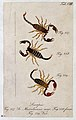Three scorpions; a male and female Scorpio massiliensis and Wellcome V0022396EL.jpg