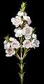 Thryptomene australis subsp. australis - Flickr - Kevin Thiele.jpg