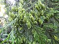 Thuja plicata green cones 2.jpg
