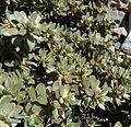 Thymelaea tartonrairia 2.jpg