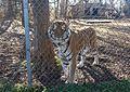 Tiger in enclosure at Carolina Tiger Rescue 3.jpg