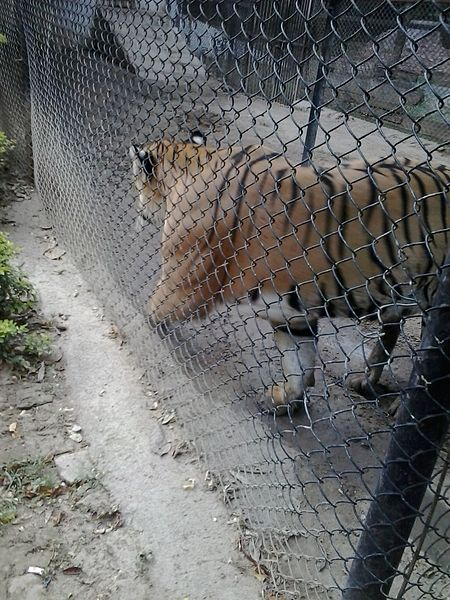 File:Tiger in patna zoo jpg - Wikimedia Commons