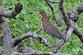 Tigrisoma lineatum -Uarini, Amazonas, Brasil -juvenile-8.jpg