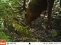 Tomales Point Water Sources- Wildlife Monitoring Camera- Tule Elk - September 21, 2020, 1-31 pm (43dc2d44-4003-4476-9033-3d5df535d701).jpg