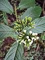 Tournefortia heyneana 60.JPG