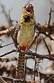 Trachyphonus darnaudii -Samburu National Reserve, Kenya-8.jpg