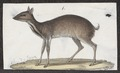 Tragulus javanicus - 1700-1880 - Print - Iconographia Zoologica - Special Collections University of Amsterdam - UBA01 IZ21500194.tif