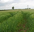 Tramlines in a barley crop - geograph.org.uk - 1306062.jpg